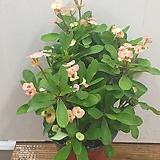 꽃기린(연분홍/파스텔)1 