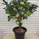 ♥사과나무(부사) ♥열매 달려 있습니다,|Sedum torereasei
