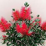 병솔나무(외목수형/1)-동일품배송 
