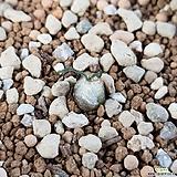 Ornithogalum tortuosum|