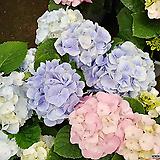 이쁜꽃수국-대품