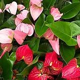 안시리움/안시륨(분홍.빨강)2종1세트 Anthurium andraeaeanum