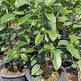 오렌지레몬나무/한목대/일자형 