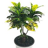 청목크로톤|Codiaeum Variegatum Blume Var Hookerianum