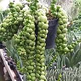 드래곤(하트잎)/공중걸이식물4/행잉플랜트 