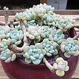 라울 묵은둥이 (한몸)|Sedum Clavatum