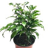 벤자민고무나무|Ficus elastica