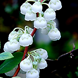 은방울나무(풍성대품/2)-동일품배송 