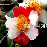 동곡교동백(분재작품/A)-동일품배송 