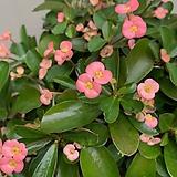 분홍꽃기린 단품 특대품 