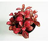 레드스타 공기정화식물 키우기 쉬운식물|