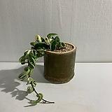 쭈구리 호야|Hoya carnosa