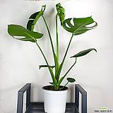 몬스테라 / 델리시오사 / 플랜테리어 / 공기정화식물 /한빛농원|