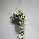 무늬트위스트호야 수입호야 공중식물 롱 709029915|Hoya carnosa