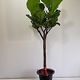 떡갈나무(외대)/공기정화식물/반려식물/온누리 꽃농원|