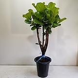 떡갈나무/공기정화식물/반려식물/온누리 꽃농원|