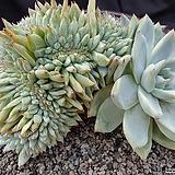 야생콜로라타철화(최상의 멋드러진 수형) Echeveria colorata