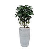 만냥금 개업축하화분 사무실식물 개업화분 거실화분|