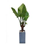 알로카시아 완성분 (시멘트사각) 大 개업축하화분 사무실식물 개업화분 거실화분|Alocasia
