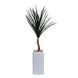 드라코 나무 (시멘트 사각 완성분) 대품 大 개업축하화분 개업화분 거실화분|