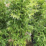 오죽대나무-풍성한모찌구미공기정화탁월|