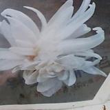 콜치쿰(연잎상사화)겹흰색|