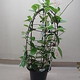 호야대품7번|Hoya carnosa