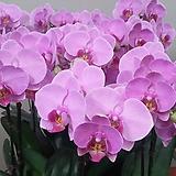 호접란.K7뷰티.예쁜핑크색.고급종.신품종.색상은 화려 좋습니다.꽃형도 예쁩니다.가격대비좋습니다~|