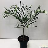 긴잎아카시아(동일품배송 )|