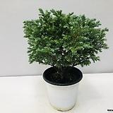 블루버드 비단삼나무 (동일품배송 )|