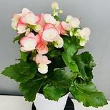 장미베고니아 (동일품배송)|Begonia