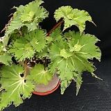 샤머스(베고니아)화분포함|Begonia