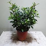 피어리스나무 공기정화식물 야생화 소품 20304930|