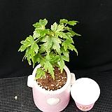 드레게이글래스크(베고니아)화분포함|Begonia