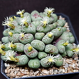 Conphytum uviforme ssp 유비포르미 30두이상|