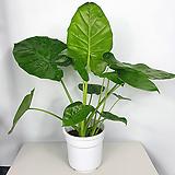 알로카시아 / 조직배양묘 / 공기정화식물 / 한빛농원|