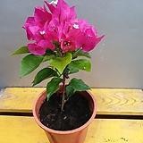 부겐베리아(한목대)  꽃이 화려하고  한해동안 꽃이 여러번오는 아이에요|