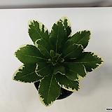 무늬돈나무|Zamioculcas zamiifolia