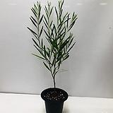 긴잎아카시아 (동일품배송 )|