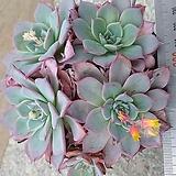 아우렌시스3굵은목대|Echeveria Laulensis
