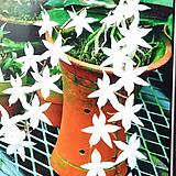 에란기스 비로바.다시입고.(순백색꽃).은은한 향기(밤에 향기가 납니다).상태굿.꽃대있습니다..|
