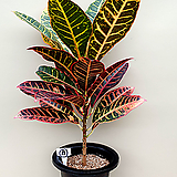 크로톤(외목수형/A)-동일품배송 Codiaeum Variegatum Blume Var Hookerianum