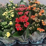 가랑코에.4개.겹꽃형.꽃대.식탁에놓으면 예뻐요.꽃이 오래갑니다.|