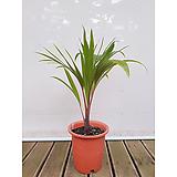 주병야자 희귀식물 샴페인야자 공기정화식물|