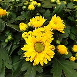 [진아플라워] 가을의 상징 국화 노랑 070 