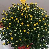 국화.가든멈.걸이.포트지름21cm.예쁜노란색.노지월동짱!!.아주예뻐요.꽃송이가 중간형입니다.|