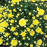 국화.가든멈.포트지름21cm.예쁜노란색.노지월동짱!!.아주예뻐요.꽃송이가 중간형입니다.|
