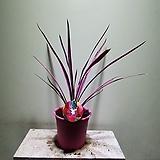 코르딜리네 핑크스타 수입식물  중품 305019910 