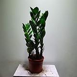 튼튼이금전수 개업화분 공기정화식물  507014970 