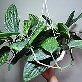 몬스테라스킨카스테니안 공중식물 수입식물 405021912 